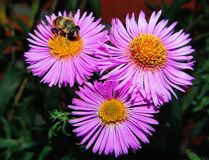3 Pink Clustered Flowers in Close Up Shots Stock Images