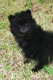 3 pomeranian puppy Zdjęcia Royalty Free