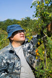 3 pomodori del giardiniere Fotografie Stock Libere da Diritti