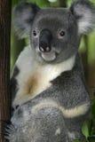 3 ponoszą koala Fotografia Royalty Free