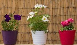 3 POT di fiore variopinti Fotografia Stock