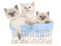 3 Pretty Ragdoll kittens in blue basket. 3 cute Ragdoll kittens sitting inside blue and white woven basket, on white background royalty free stock photos