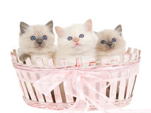 3 Pretty Ragdoll kittens in pink basket Stock Photo