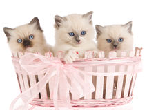 3 Pretty Ragdoll kittens in pink basket Royalty Free Stock Photography