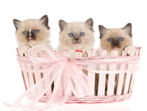 3 Pretty Ragdoll kittens in pink basket Royalty Free Stock Photo