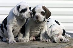 3 pups Royaltyfria Foton