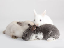 3 Rabbit baby Royalty Free Stock Image