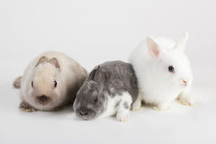 3 Rabbit baby Stock Photography