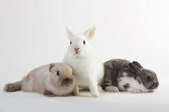3 Rabbit baby Royalty Free Stock Photos