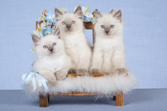 3 Ragdoll kittens on mini bench. Pretty Ragdolls on mini wooden bench with flowers, on blue background fabric Royalty Free Stock Photos