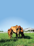 3 rode Brahmaan Royalty-vrije Stock Afbeelding