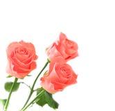 3 rosas fotos de stock