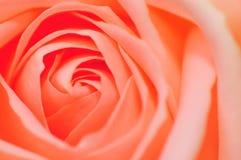 3 rose serie för pink Arkivfoto
