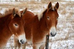 3 roseberry mules Arkivbilder
