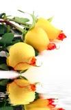 3 roses. Three yellow roses isolated on white - narrow focus Stock Photos