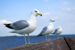 3 In A Row. 3 Seagulls perched on the rail of a pier Stock Photography