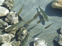 3 ryb Obraz Stock