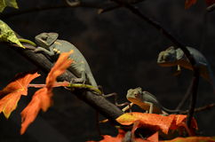 3 samiec kameleon na drzewie Zdjęcie Stock