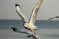 3 seagull Fotografia Royalty Free