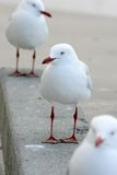 3 seagulls Arkivbilder