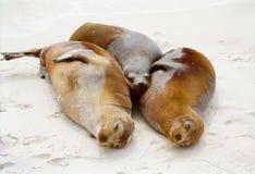 3 selos de Galápagos que afagam Imagens de Stock Royalty Free