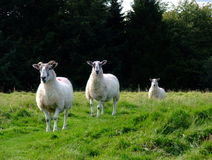 3 Sheep Royalty Free Stock Photo