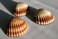 3 shells Royalty Free Stock Photos