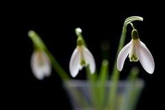 3 snowdrops foto de archivo libre de regalías