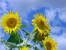 3 solrosor Arkivfoto