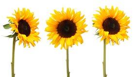 3 solrosor Royaltyfria Bilder