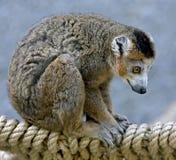3 som krönas lemur Fotografering för Bildbyråer