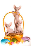 3 Sphynx kittens in Easter basket Stock Photography