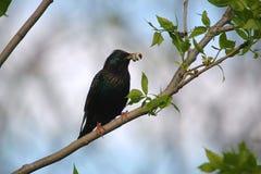 3 starling的结构树 图库摄影