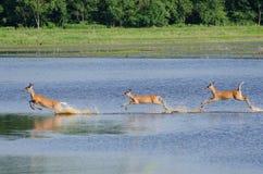 3 Startled оленя через воду Стоковое Изображение