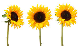 3 sunflowers. Sunflowers isolated on white background Royalty Free Stock Images
