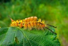 3 täta övre för caterpillar Royaltyfri Bild