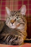 3 tło kota szkocka krata Fotografia Royalty Free