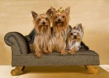3 terrieres de Yorkshire en el sofá marrón Foto de archivo libre de regalías
