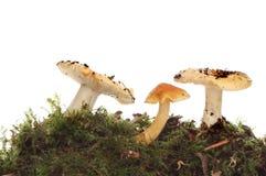 3 toadstools Стоковые Фотографии RF