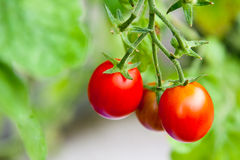 3 tomates-cerises Image stock