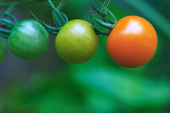 3 tomates de cereza que maduran Imagen de archivo libre de regalías