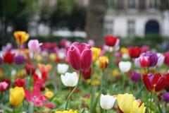 3 tulipan Zdjęcie Royalty Free