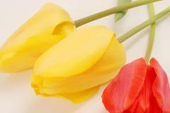 3 tulipanu Fotografia Royalty Free