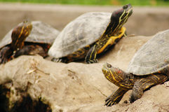 Free 3 Turtles Royalty Free Stock Image - 191616