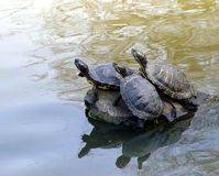 3 turtles. Three turtles sunbathing on the rock stock photo