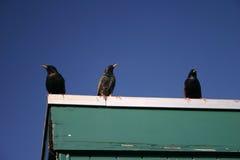 3 uccelli Fotografie Stock Libere da Diritti