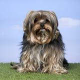 3 vecchi anni Yorkshire del terrier Immagine Stock Libera da Diritti