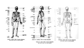 3 Views of the human skeleton. Full frontal , lateral and rear,  from out of print book, Human anatomy for art students  by Sir Alfred Downing Fripp, Ralph Stock Image