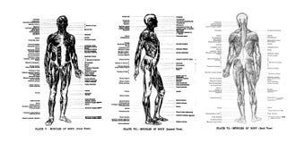 3 vistas del esqueleto humano Foto de archivo libre de regalías