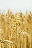 3 wheatfield 库存图片